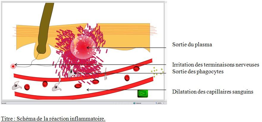 animation reaction inflammatoire